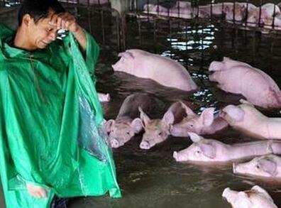 六千头猪被救以后,万人大迁移还在持续|中安在线实时直播