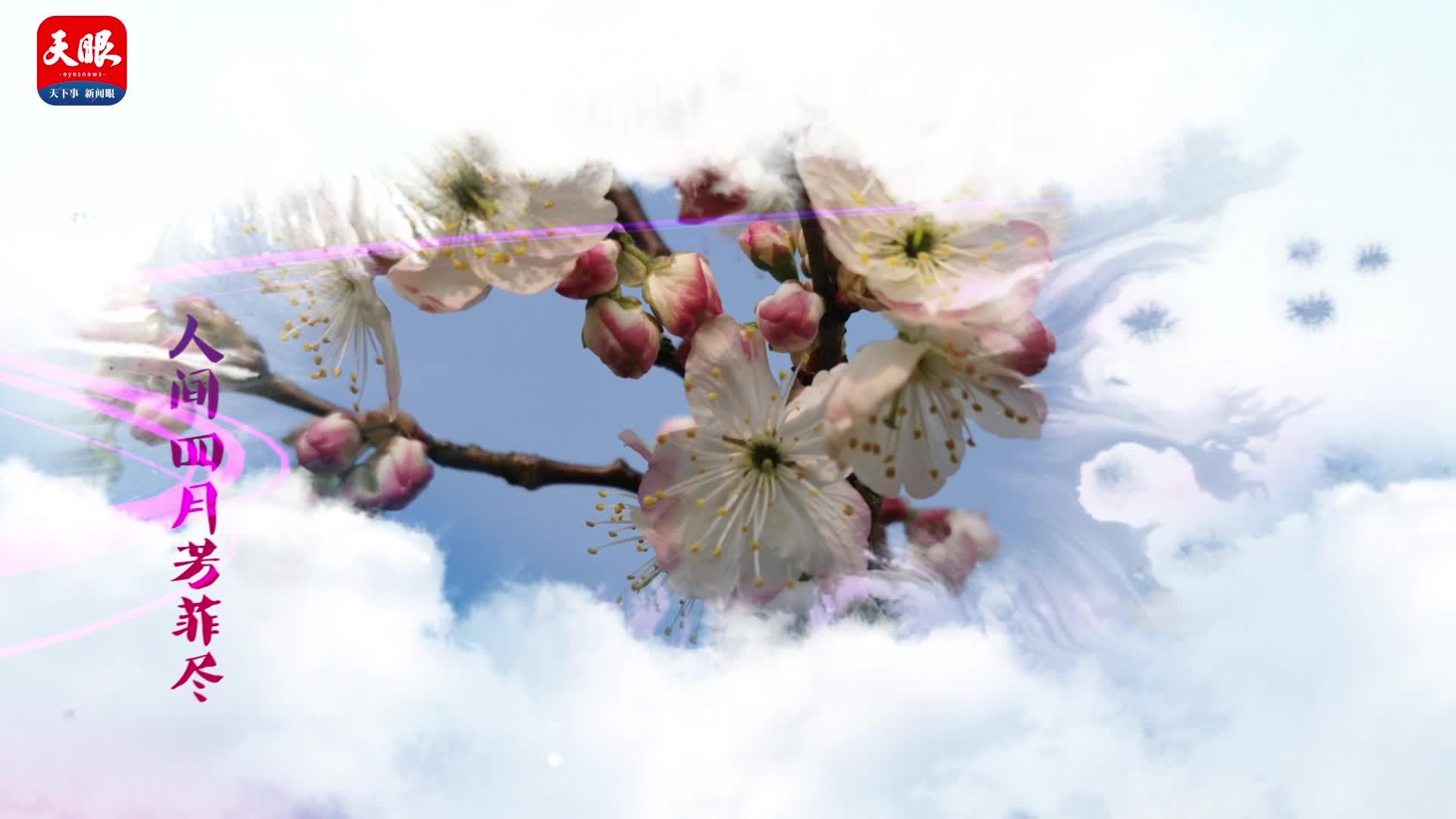 思南:春意盎然 樱桃花开