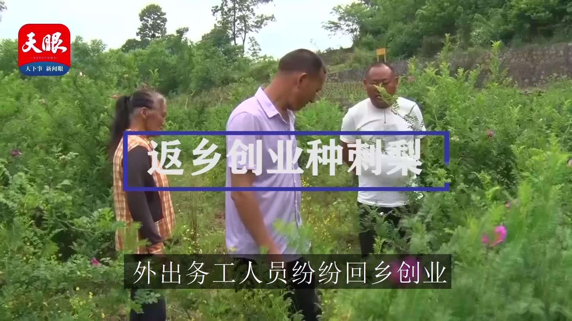息烽县养龙司镇农户:勤学专研种植业 返乡创业种刺梨