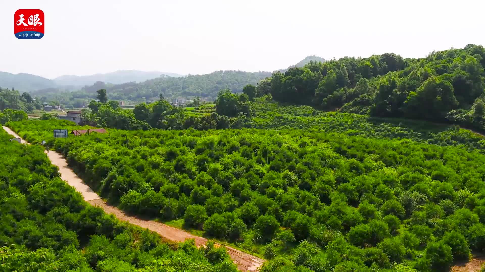 """【两会•梦想农场】大山里的油茶果 成为致富""""加油站"""""""